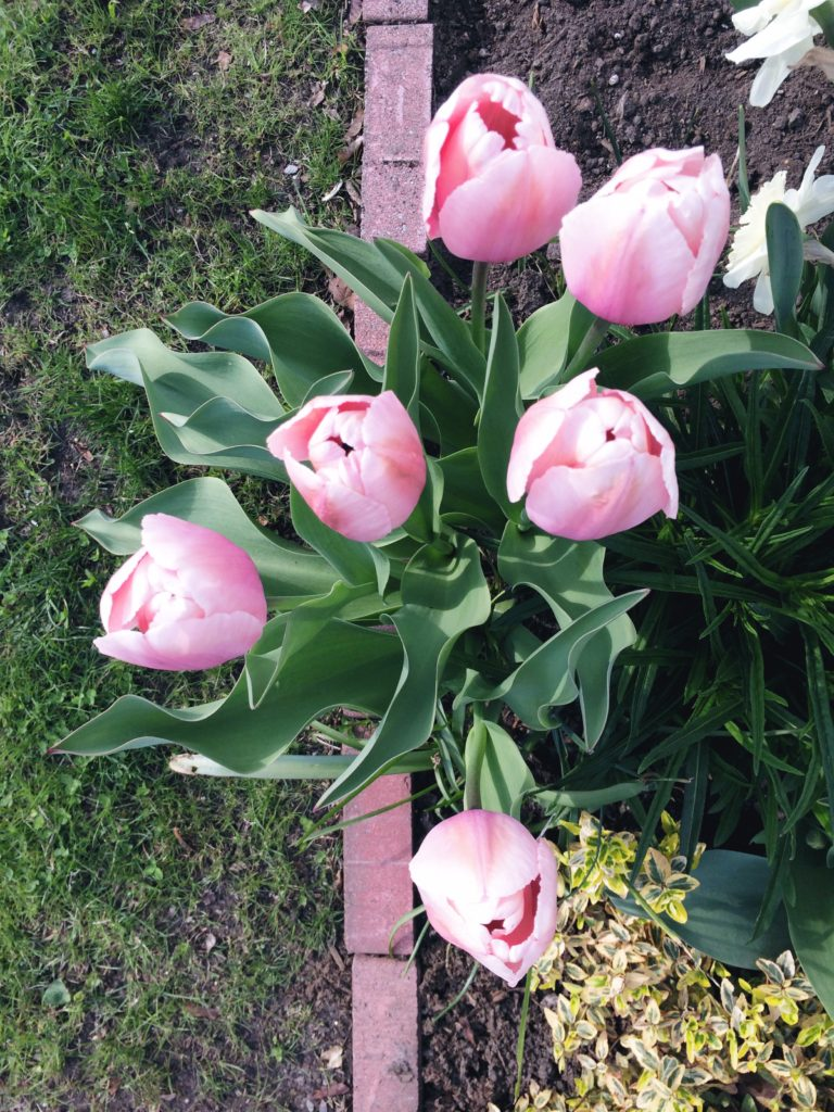 TuesdayTulips